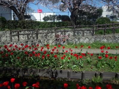 photo_derosa_sakura_tyurip_egawaryokudou_0402_2_2019_0402.jpg