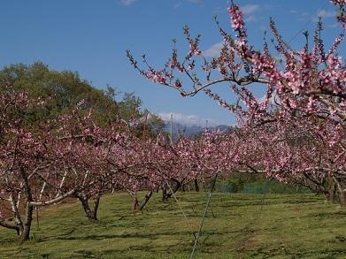 平成30桃の花