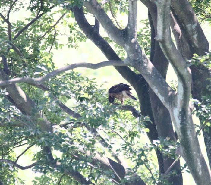 8オオタカ幼鳥