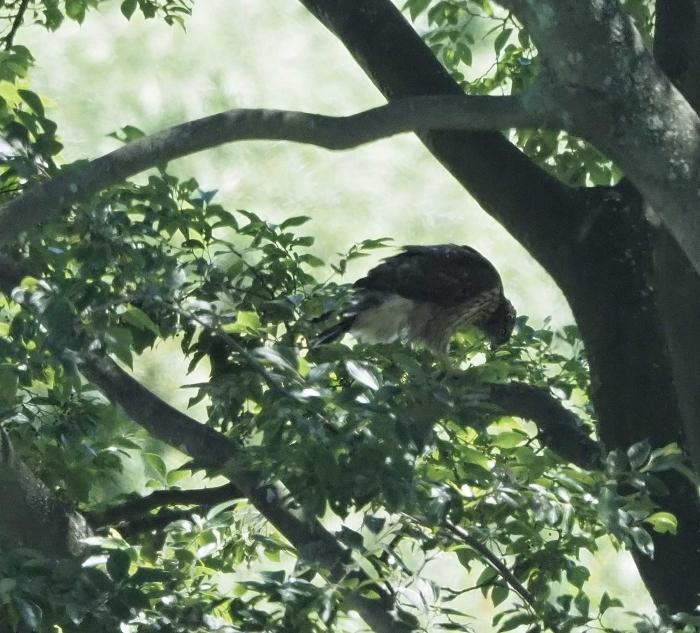 8オオタカ幼鳥1