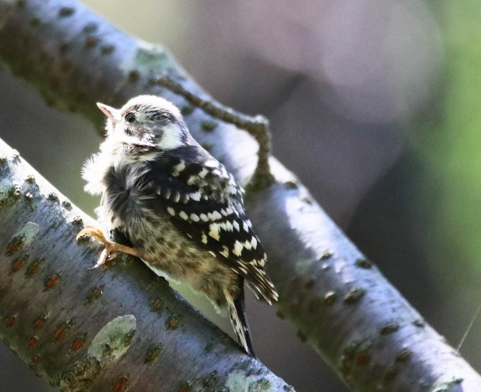 8コゲラ幼鳥2