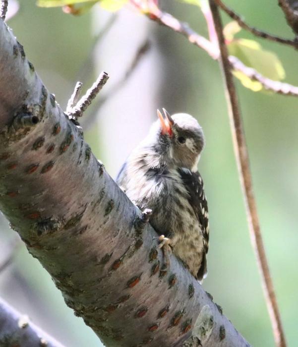 8コゲラ幼鳥1