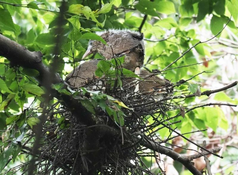 8ミゾゴイ幼鳥1