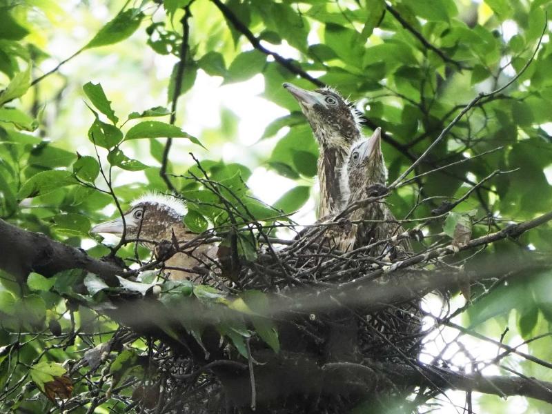 8ミゾゴイ幼鳥2