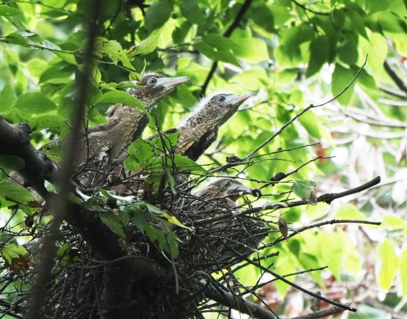 8ミゾゴイ幼鳥3