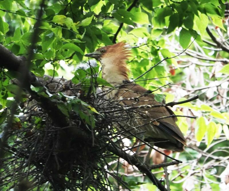 8ミゾゴイ幼鳥4