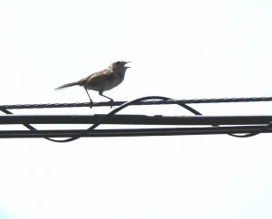 8ウグイス幼鳥1