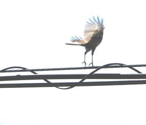 8ウグイス幼鳥2