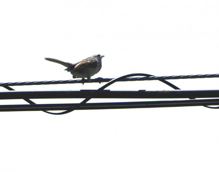 8ウグイス幼鳥3