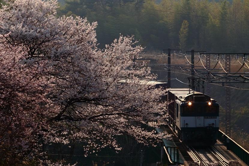 やっぱりええ桜や!