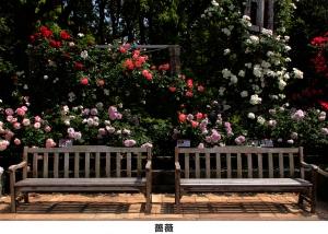 04_自由_薔薇-コーダイ