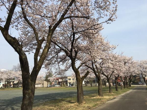 2018-04-03 文化ホールの桜