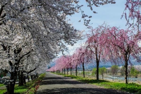 矢代川の桜