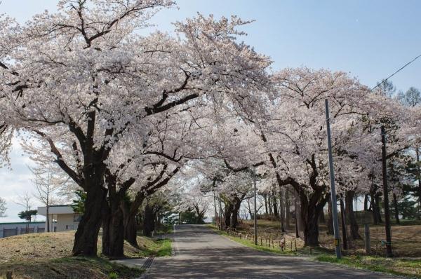 松ヶ峰桜2