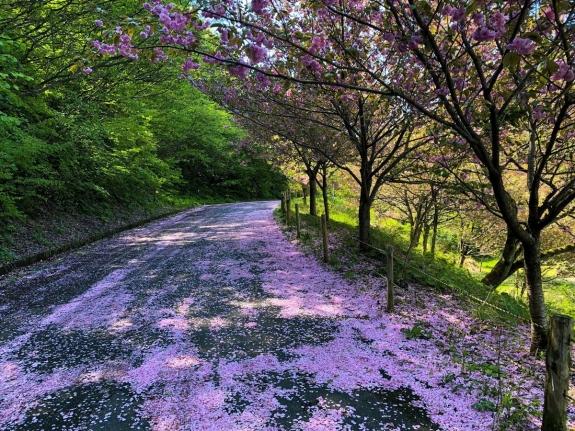 2018-04-26 花のじゅうたん