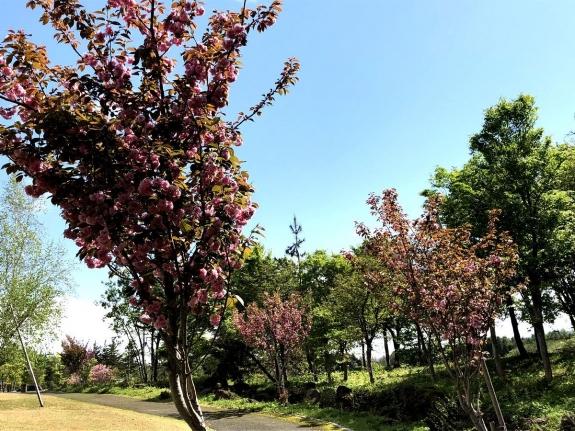 2018-04-26 八重桜3