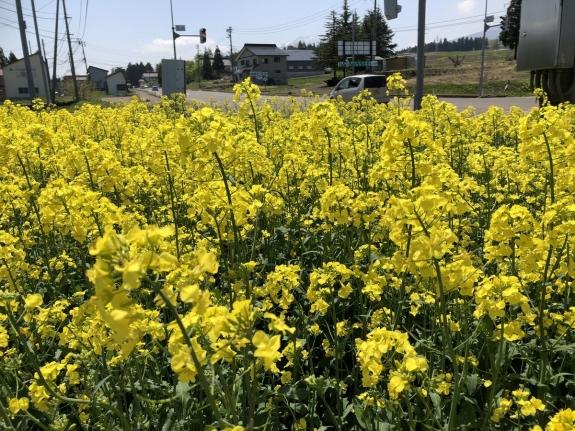 2018-04-28 菜の花