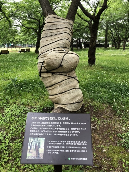 2018-05-30 桜の手当