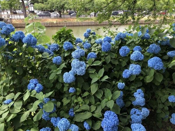 2018-06-23 堀沿いのアジサイ