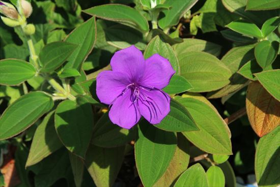 紫紺野牡丹3