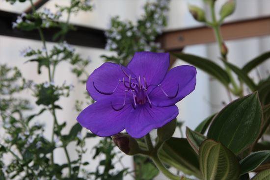 紫紺野牡丹1