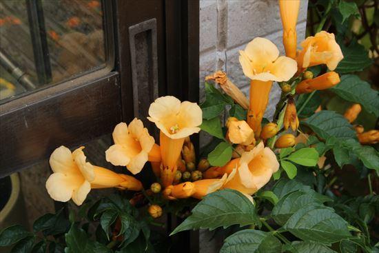 黄花ノウゼンカズラ1
