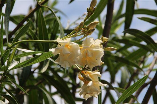 黄花夾竹桃1