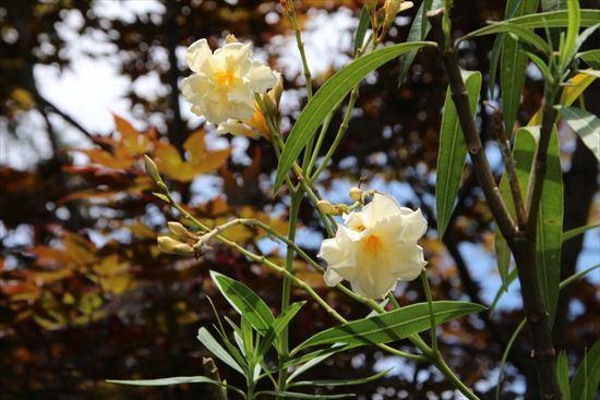 黄花夾竹桃