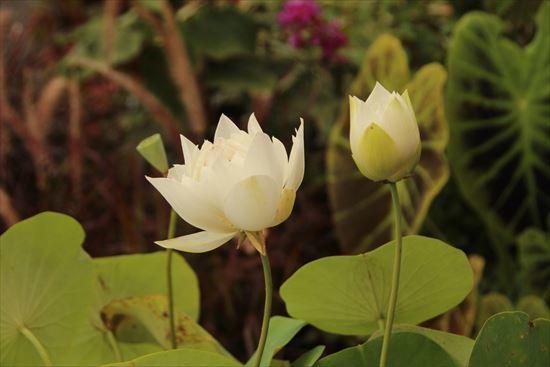 蓮 白花1