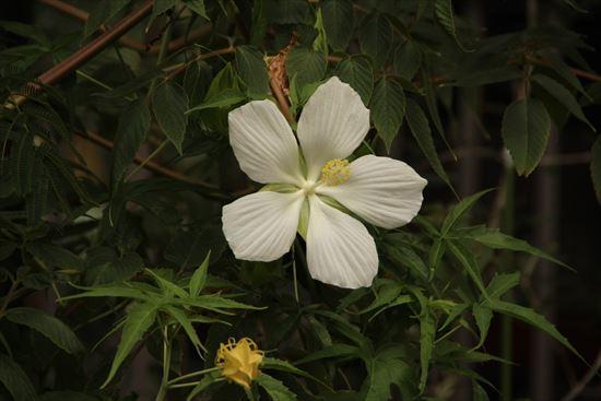 モミジアオイ 白花