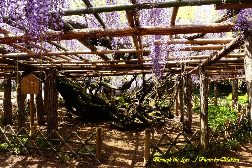 天然記念物の藤の根元TZ1