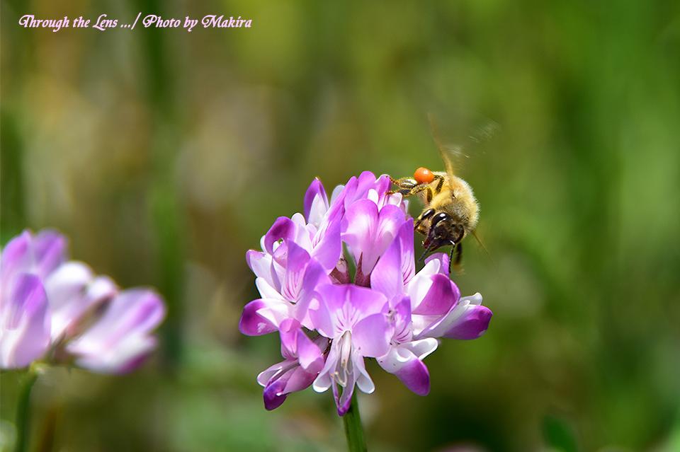 レンゲとミツバチ56D3