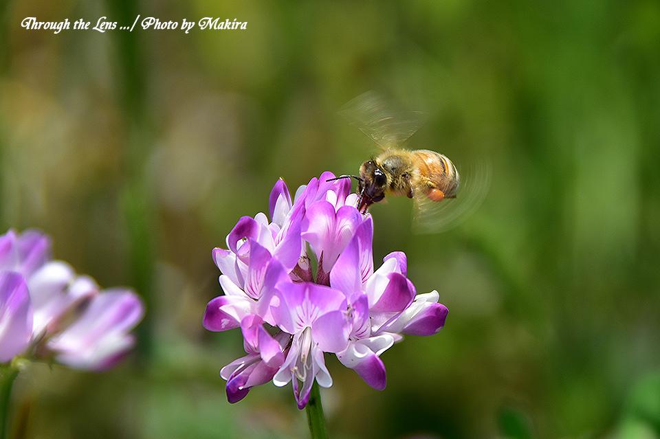 レンゲとミツバチ56D1