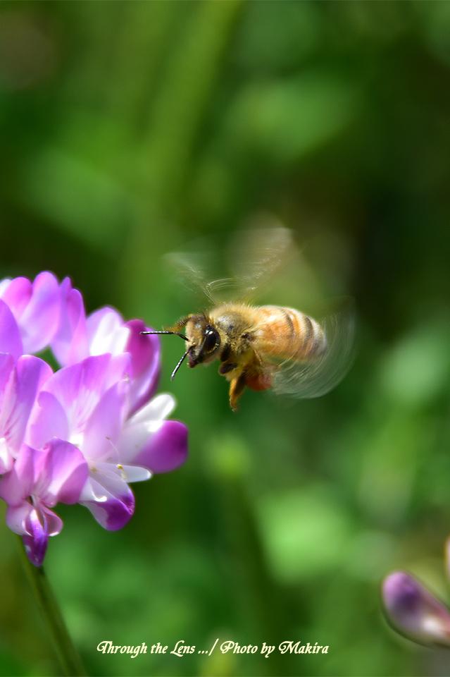 レンゲとミツバチ56D4