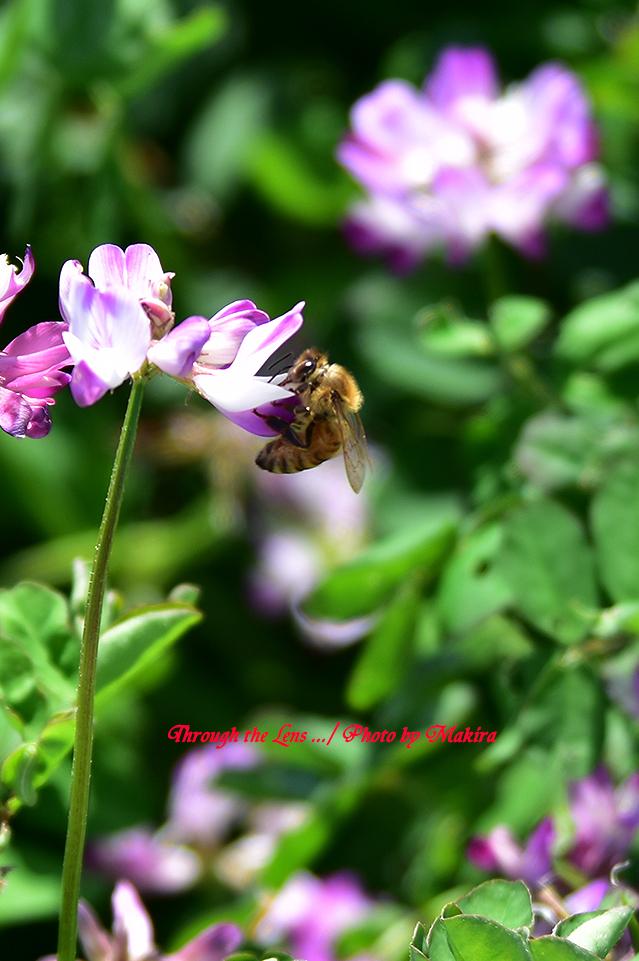 レンゲとミツバチ56D5