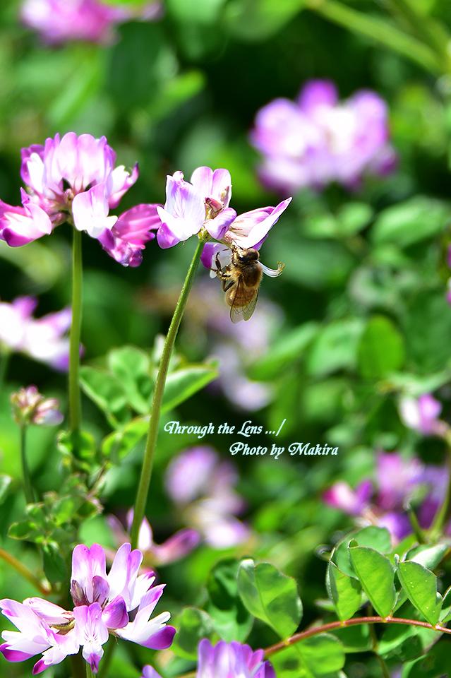 レンゲとミツバチ56D6