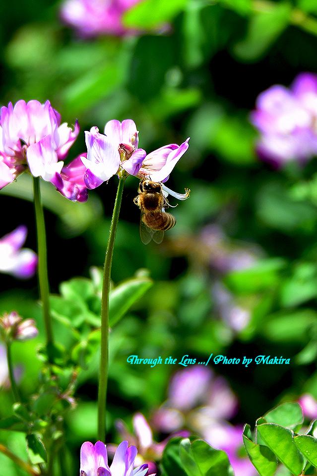 レンゲとミツバチ56D7