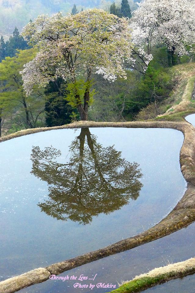 儀明の桜TZ3