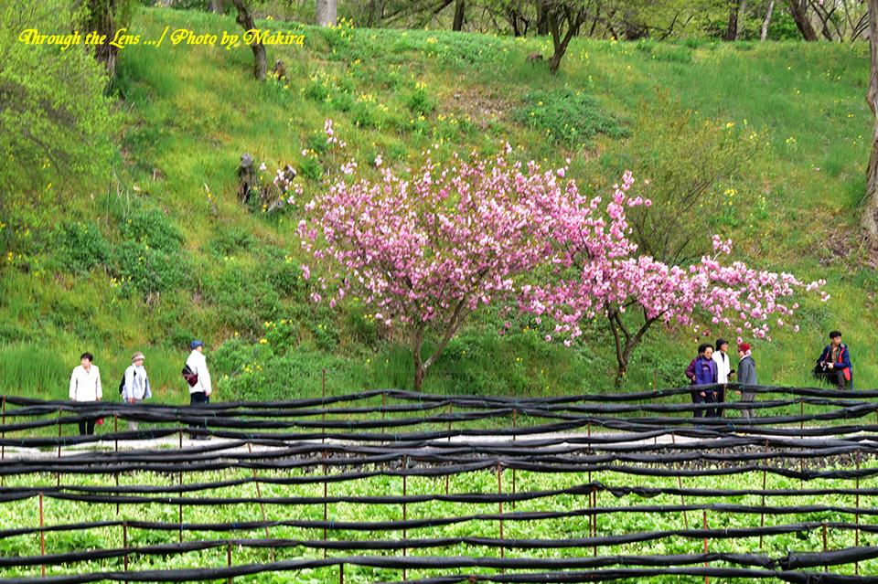 わさび田と桜56D2