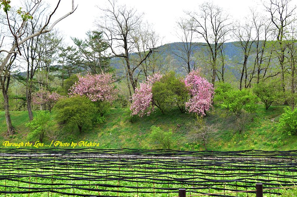 わさび田と桜56D4