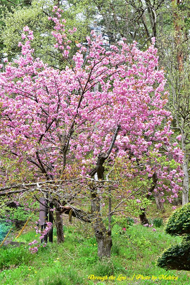 八重桜56D2