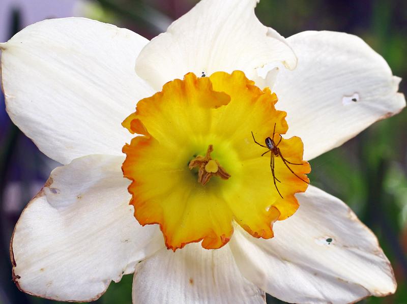 水仙と蜘蛛
