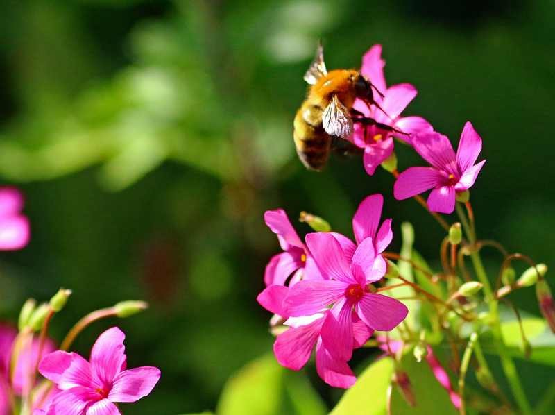 花とハナバチ
