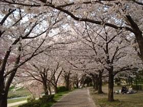 201803桜1