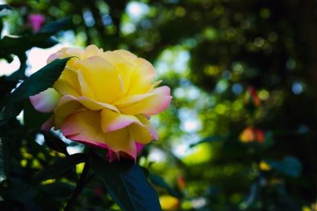 2018_rose_one_2.jpg
