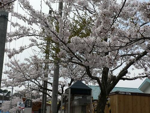 桜 海の駅付近20180423
