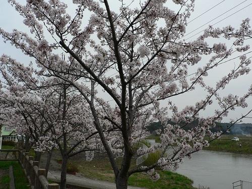 桜 中村川河川公園20180423