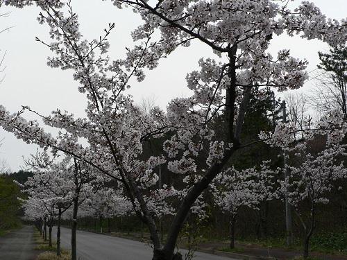 桜 大高山総合公園付近20180423
