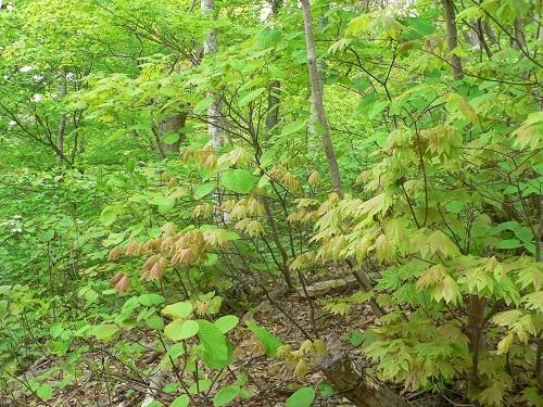 H300510白神の森②
