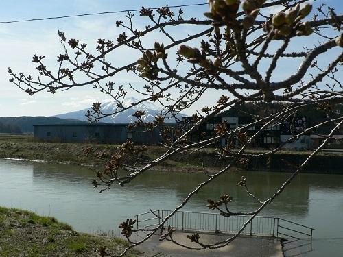 岩木山 桜のつぼみごし